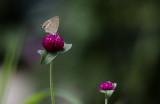 Tijgerblauwtje / Lampides boeticus