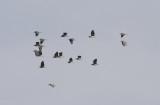 Kwak / Black-crowned Night Heron / Nycticorax nycticorax