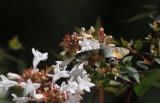 Kolibrievlinder / Macroglossum stellatarum