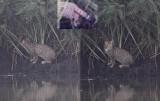 Kat sp / Cat sp. / Felis sp.