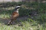 Grauwe Klauwier / Red-backed Shrike / Lanius collurio
