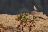 Duinpieper / Tawny Pipit / Anthus campestris