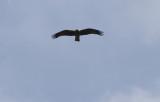 Dwergarend / Booted Eagle / Aquila pennata