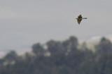Bijeneter / European Bee-eater / Merops apiaster