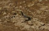 Europese Bidsprinkhaan / Mantis religiosa