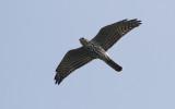 Balkansperwer / Levant Sparrowhawk / Accipiter brevipes