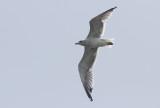Armeense Meeuw / Armenian Gull / Larus armenicus