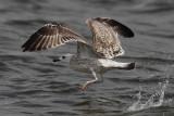 Armeense Meeuw? / Armenian Gull / Larus armenicus?