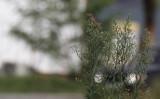 Zwartkopgors / Black-headed Bunting / Emberiza melanocephala