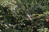 Sperwergrasmus / Barred Warbler / Sylvia nisoria