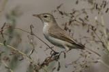 Kleine Spotvogel / Booted Warbler / Iduna caligata