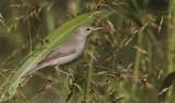 Oostelijke Vale Spotvogel / Eastern Olivacious Warbler / Iduna pallida