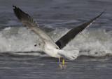 Kleine Mantelmeeuw / Lesser Black-backed Gull / Larus f. intermedius