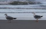 Adulte en adultachtige vogels