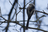 Staartmees / Long-tailed Tit / Aegithalos caudatus