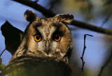 Ransuil / Long-eared Owl / Asio otus