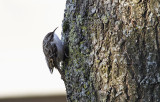 Boomkruiper / Short-toed Treecreeper / Certhia brachydactyla