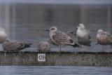 Zilvermeeuw / Herring Gull / Larus a. argentatus