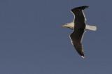 Grote Mantelmeeuw / Great Black-backed Gull / Larus marinus
