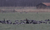 Roodhalsgans / Red-breasted Goose / Branta ruficollis