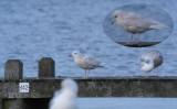 Kleine Burgemeester / Iceland Gull / Larus glaucoides