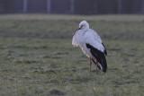 Ooievaar / White Stork / Ciconia ciconia