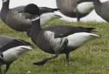 Zwarte Rotgans / Black Brant / Branta b. nigricans