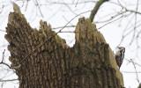 Middelste Bonte Specht / Middle Spotted Woodpecker / Dendrocopos medius
