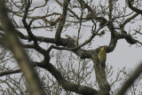 Groene Specht / Green Woodpecker / Picus viridis