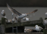 Pontische Meeuw / Caspian Gull / Larus cachinnans