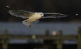 Stormmeeuw / Common Gull / Larus canus