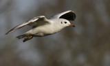 Kokmeeuw / Black-headed Gull / Chroicocephalus ridibundus