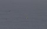IJseend / Long-tailed Duck / Clangula hyemalis