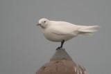 Ivoormeeuw / Ivory Gull / Pagophila eburnea