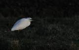 Kleine Zilverreiger / Little Egret / Egretta garzetta