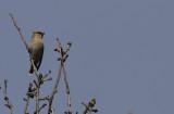 Pestvogel / Bohemian Waxwing / Bombycilla garrulus