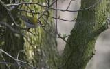 Vuurgoudhaan / Firecrest / Regulus ignicapillus