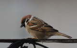 Ringmus / Eurasian Tree Sparrow / Passer montanus