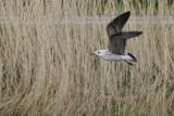 Kleine Mantelmeeuw / Lesser Black-backed Gull / Larus fuscus ssp.