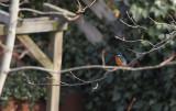 IJsvogel / Common Kingfisher / Alcedo atthis