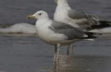 Pontische Meeuw / Caspian Gull / Larus cachinnans?