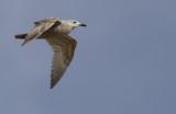 Thayers Meeuw / Thayer's Gull / Larus thayeri