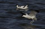 Kluut / Pied avocet / Recurvirostra avosetta