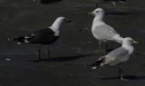 Kumliens Meeuw / Kumlien's Gull / Larus glaucoides kumlieni