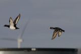 Ringsnaveleend / Ring-necked Duck / Aythya collaris