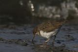 Amerikaanse Oeverloper / Spotted Sandpiper / Actitis macularius