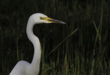 Grote Zilverreiger / Great Egret / Ardea alba