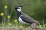 Kievit / Northern Lapwing / Vanellus vanellus