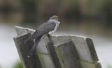 Koekoek / Common Cuckoo / Cuculus canorus