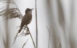 Grote Karekiet / Great Reed Warbler / Acrocephalus arundinaceus